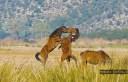 """Εντυπωσιακές εικόνες με τα άγρια άλογα που ζουν ελεύθερα στον Λούρο Αιτωλοακαρνανίας. Προέρχονται από την σπάνια φυλή της Πίνδου που """"πρωταγωνίστησε"""" στο Έπος του 40"""