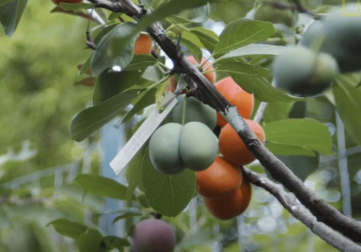 Το παράξενο δέντρο που παράγει 40 διαφορετικά είδη καρπών! Πώς δημιουργήθηκε
