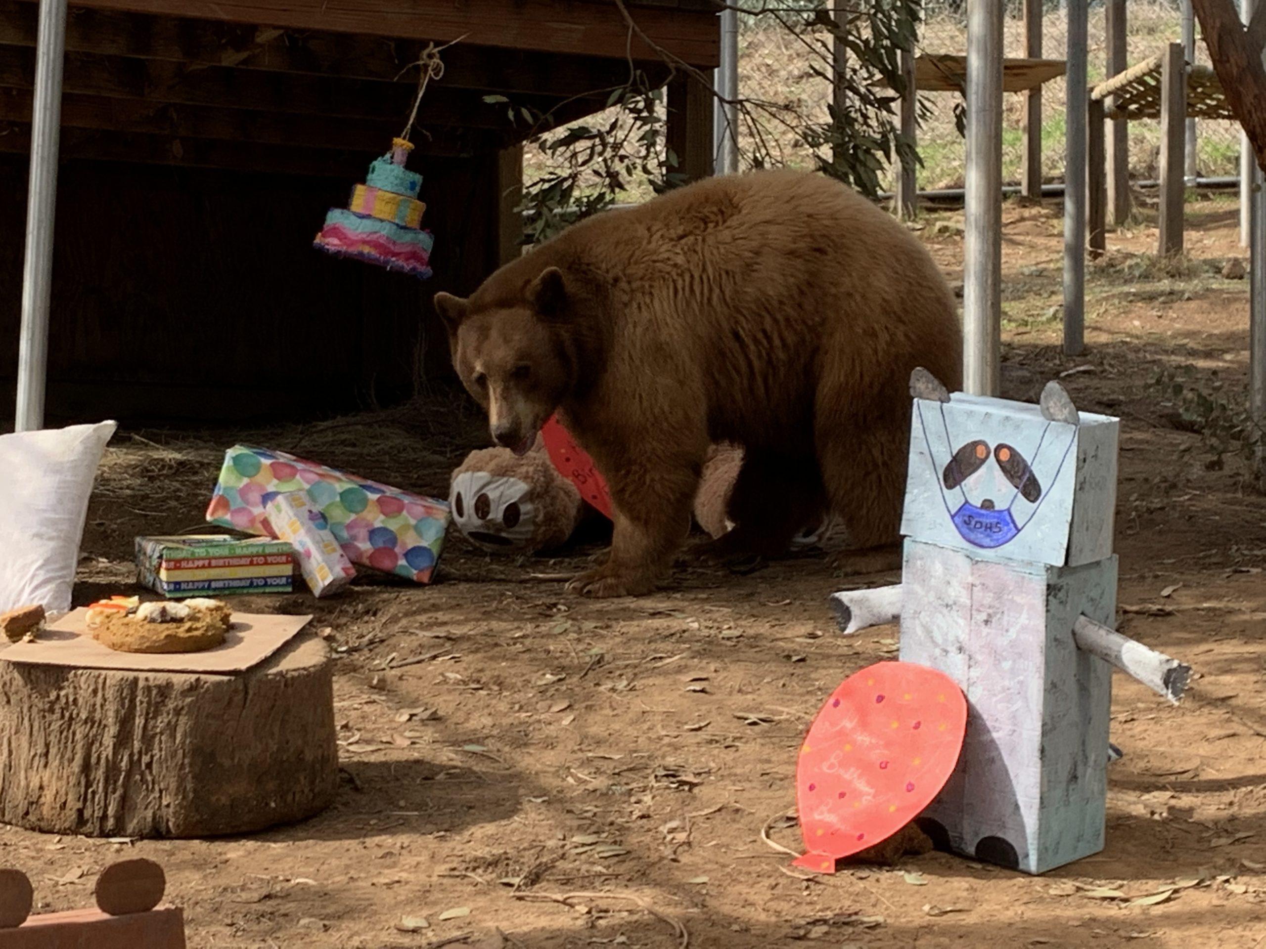 Η μυστηριώδης ασθένεια που κάνει τις αρκούδες αφύσικα φιλικές προς τους ανθρώπους. Δεν μπορούν να επιβιώσουν στην άγρια φύση