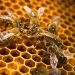 organizarea albinelor