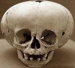 craniul de la chihuahua