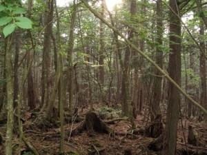 aokigahara-padurea-blestemata-de-la-poalele-muntelui-fuji-3
