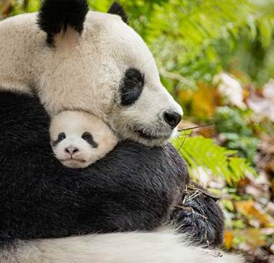 Disneynature's Born in China is coming April 21st!