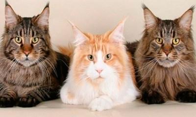 El equipo de investigación analizó la conducta de 50 gatos de albergues y de hogares de animales. | Foto: petdarling.com