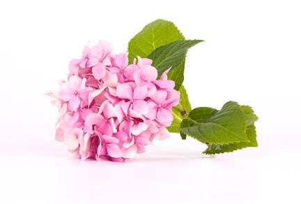 繡球花、紫陽花