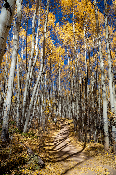 Road through Aspens