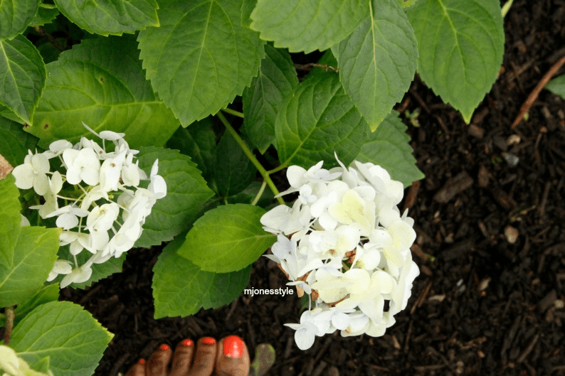 #whitehydrandeas