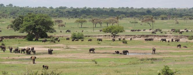 Tarangire National Park elephants