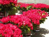 one rose 4