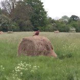 King of the Bales - pheasant on haystack