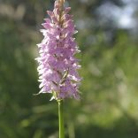 Common Spotted orchid, Perry Wood, 23.06.20, 0720