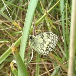 Marbled White Butterfly, Home Close, 0 3.07.20, 1320