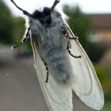 White Satin Moth, Carters Close, 21.07.20, 1824