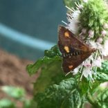 Mint moth - Carters Close, 16.08.20, 1515