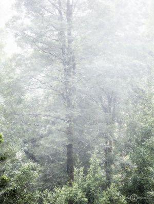 Tarkine Rainforest Mist 1