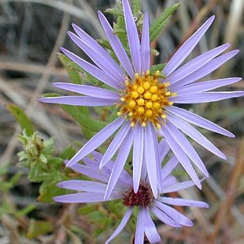California Super Bloom, Aromatic aster