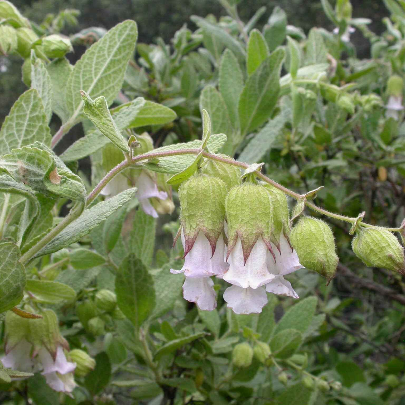 White pitcher sage at Pinnacles National Park