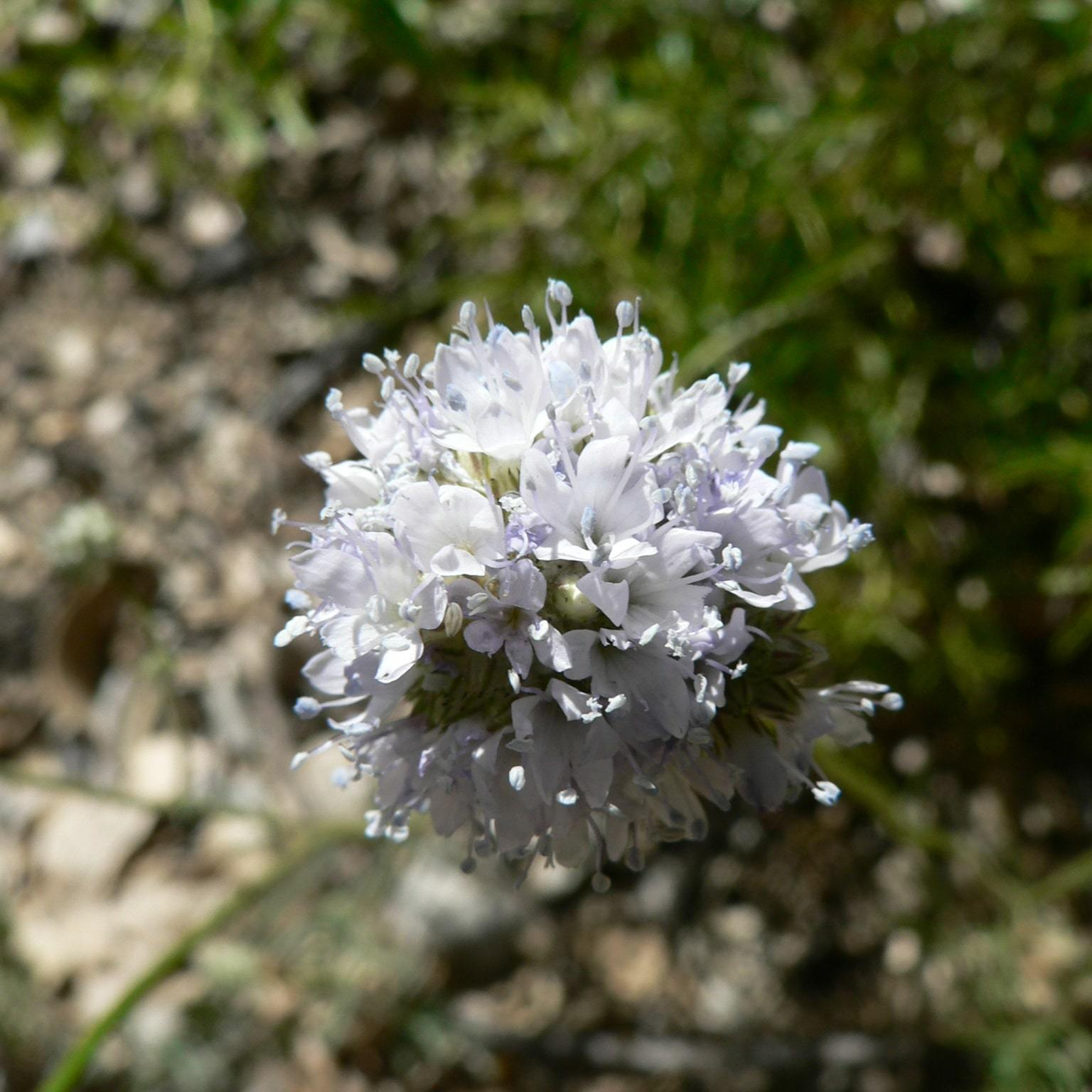 Blue gilia, Yosemite National Park