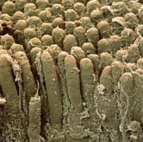 zdjęcie kosmków jelita cienkiego (w powiększeniu) http://odkrywcy.pl/