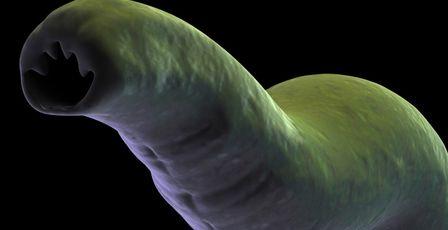 Tęgoryjec dwunastnicy - Ancylostoma duodentale zdjęcie: Thinkstock