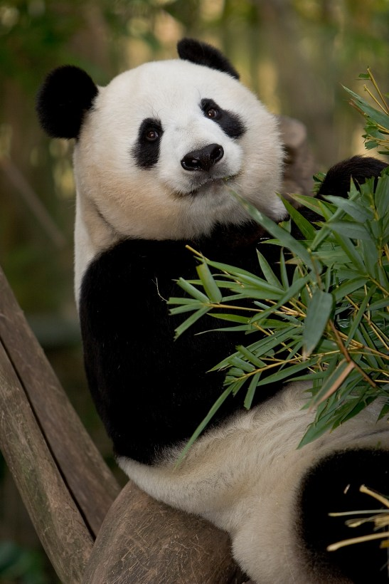 Giant Panda Eating Bamboo -Courtesy San Diego Zoo
