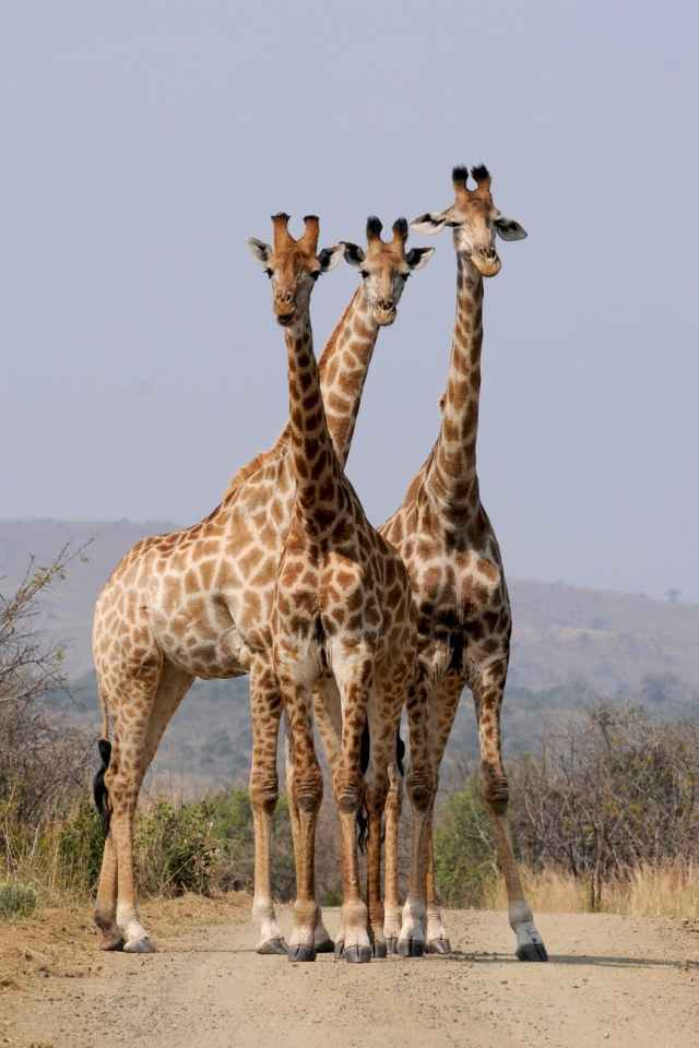 pattern formation wild animals south africa
