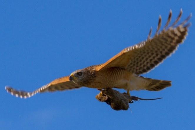 Hawk Rat