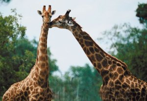 Giraffes on Women in Ministry blog by Cheryl Schatz