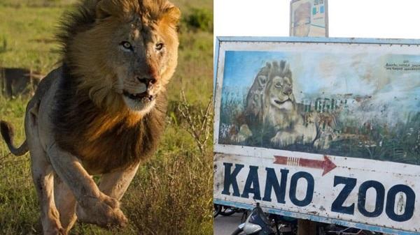 Escaped Lion Captured