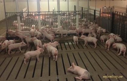 Pigs on Slats