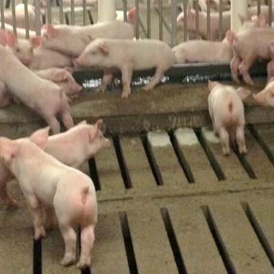 Where Does Pig Manure Go?