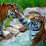 Tigers at MN Zoo