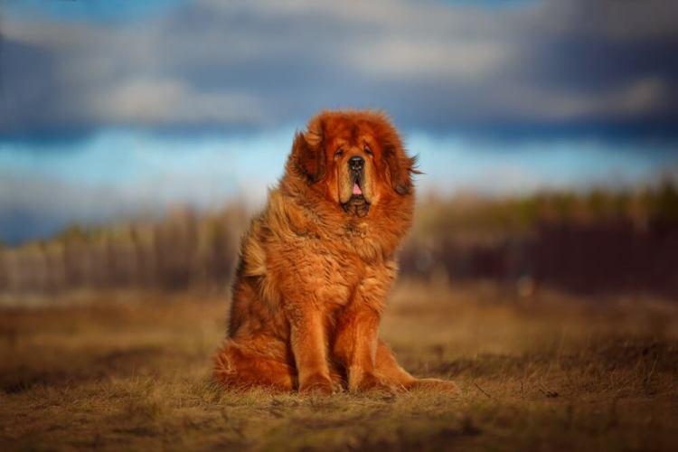 Een Tibetaanse Mastiff