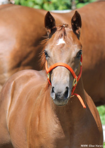 """Ken"" is a AQHA colt for sale. He is tested NN for the 5 panel test. Sire is Mr Cool Secret , out of a daughter of JMK Malibu Ken (out of Cooleah)."