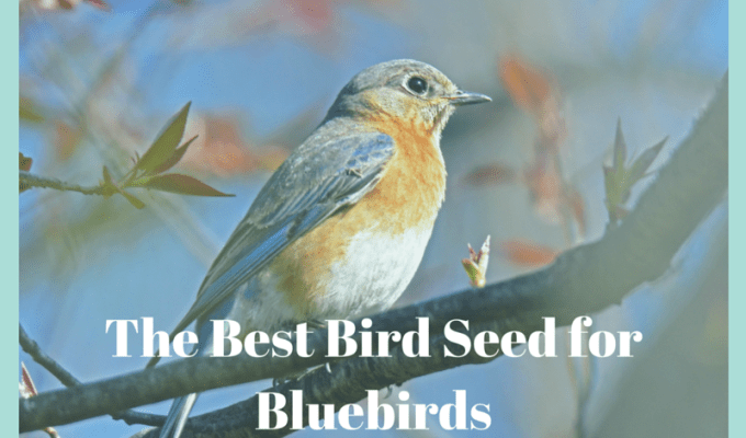 Best Bird Seed For Bluebirds