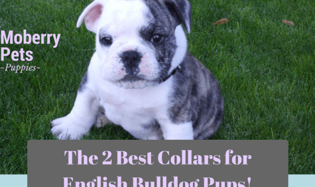 The Best Collar for an English Bulldog Puppy