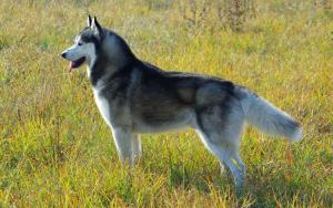 The Best Dog Food For Huskies