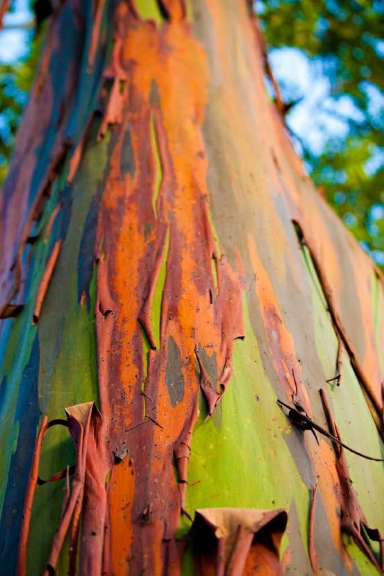 rainbow eucalyptus pohon penuh warna 9