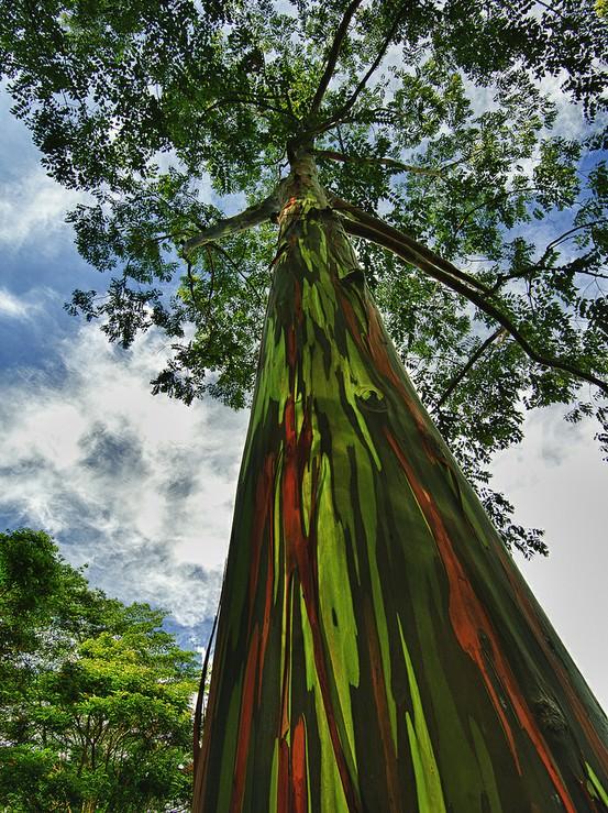 rainbow eucalyptus pohon penuh warna 8