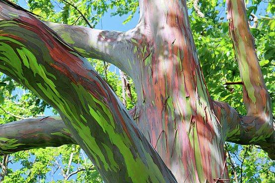rainbow eucalyptus pohon penuh warna 7