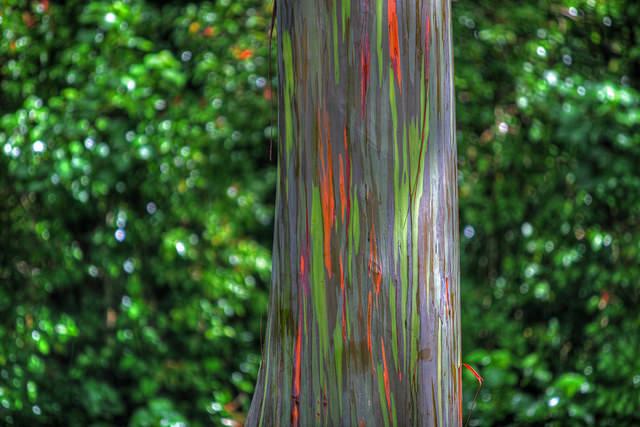 rainbow eucalyptus pohon penuh warna 12