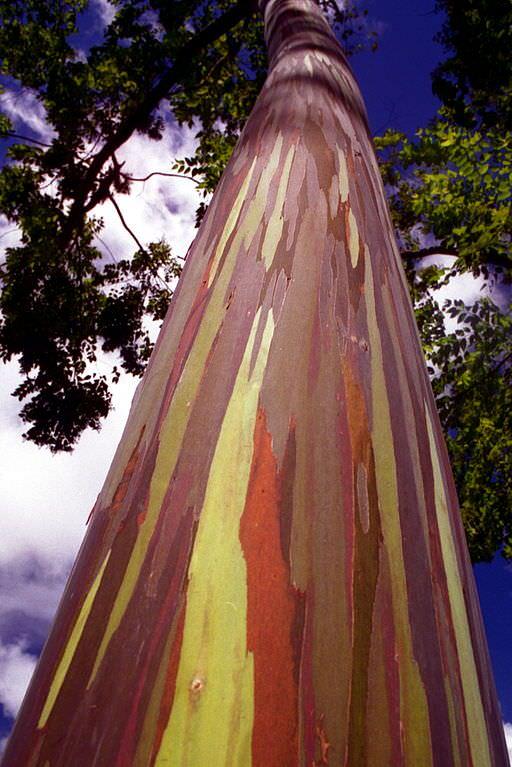 rainbow eucalyptus pohon penuh warna 15
