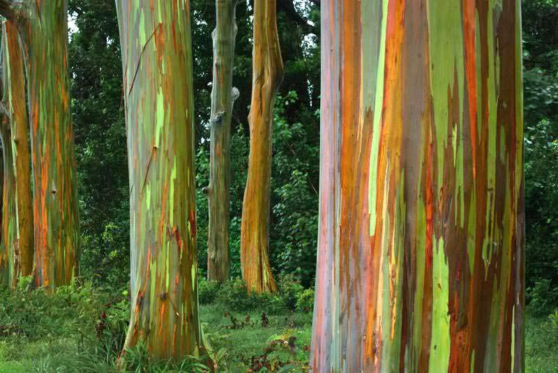 rainbow eucalyptus pohon penuh warna 2