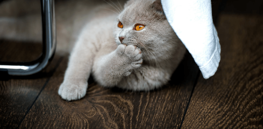Cat licking its paw on wooden floor