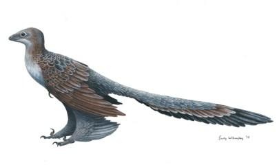 Changyuraptor-yangi-Emily-Willoughby