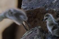 barnacle-gosling-bbc-life-story-4k