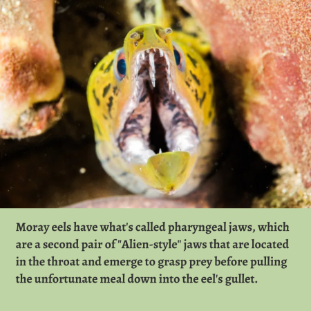 """Moray eels have what's called pharyngeal jaws, which are a second pair of """"Alien-sty ..."""