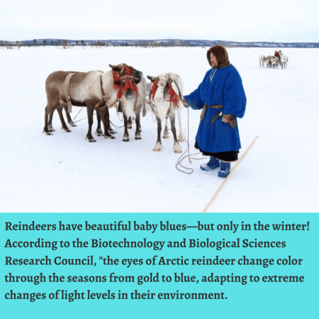 Reindeers have beautiful baby blues—but only in the winter! According to the Biotechnology and B ...