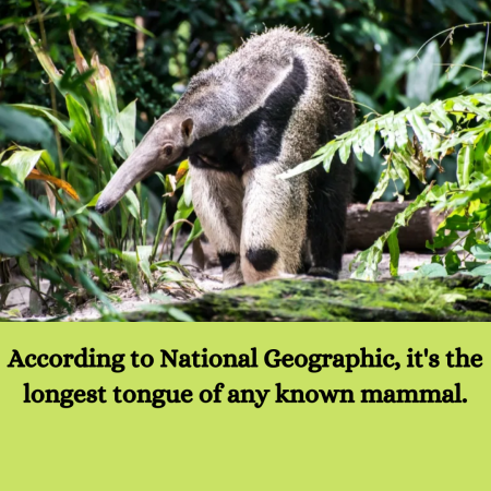 According to National Geographic, it's the longest tongue of any known mammal.