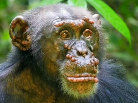 Leprosy is discovered in wild CHIMPANZEES for the first time with tell-tale lumps on their faces ...